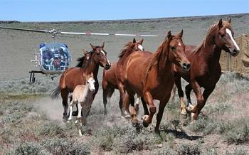 Shoot the rich instead-wild_horses_chased_by_helicopter11.jpg