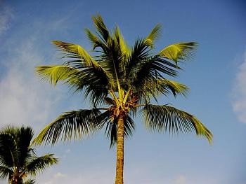 "A few photos of the ""Island of St. Lucia""...West Indies..a great place to visit.-coconut-palm-.jpg"