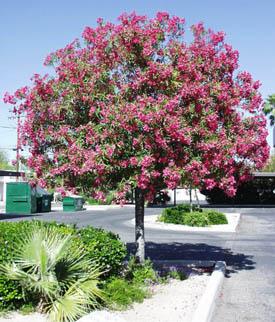 Poor giraffe tucson arizona city profile forum for Arboles bonitos para jardin