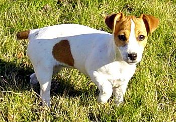 Love Your dog? Why is He/She so special?-molly-my-female-jack-russel-puppy-dec.-17-2004-%3D-.jpg