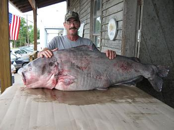 Blue catfish catch a Virginia record-blue-catfish.jpg