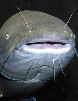 Blue catfish catch a Virginia record-splash.jpg