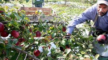 Washington state desperate for apple-pickers experience preferred-washington-apple-pickers-big-top.jpg