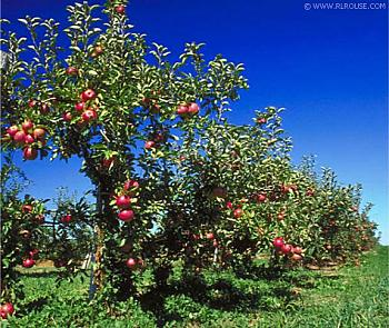 Washington state desperate for apple-pickers experience preferred-apple-trees.jpg