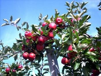 Washington state desperate for apple-pickers experience preferred-full.jpg
