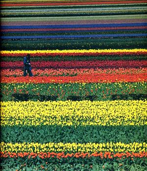 Anyone headed to the Tulip Festival?-281_image.jpg