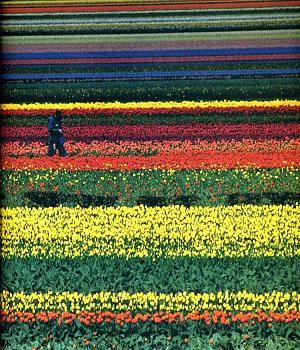Anyone headed to the Tulip Festival?-281_image.jpg