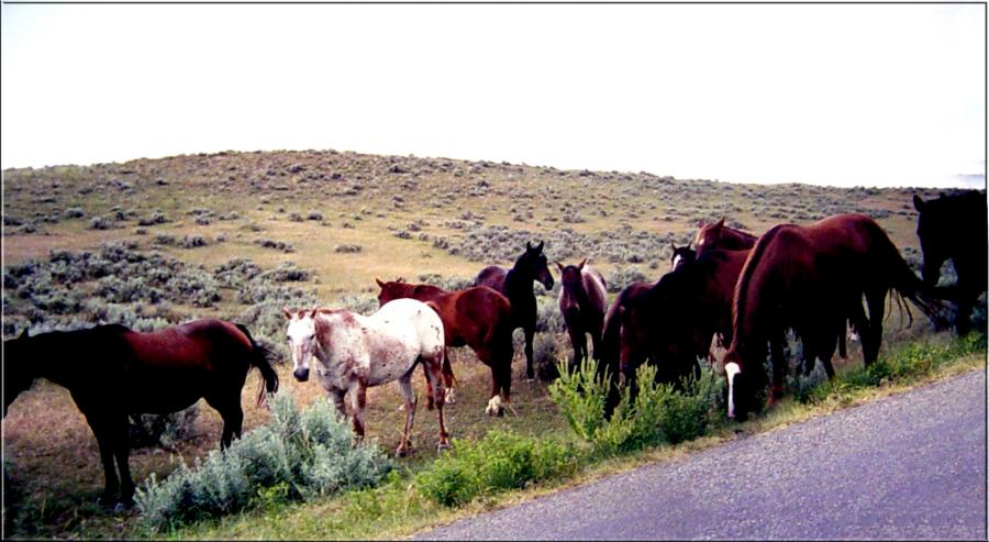Wild Horses, The Valley Of The Little Bighorn, Montana