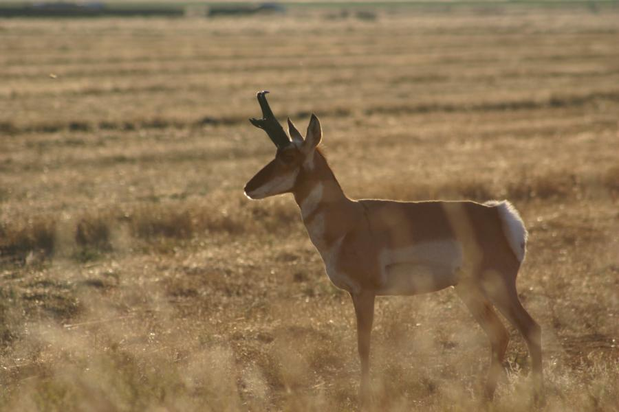 Nice Little Antelope