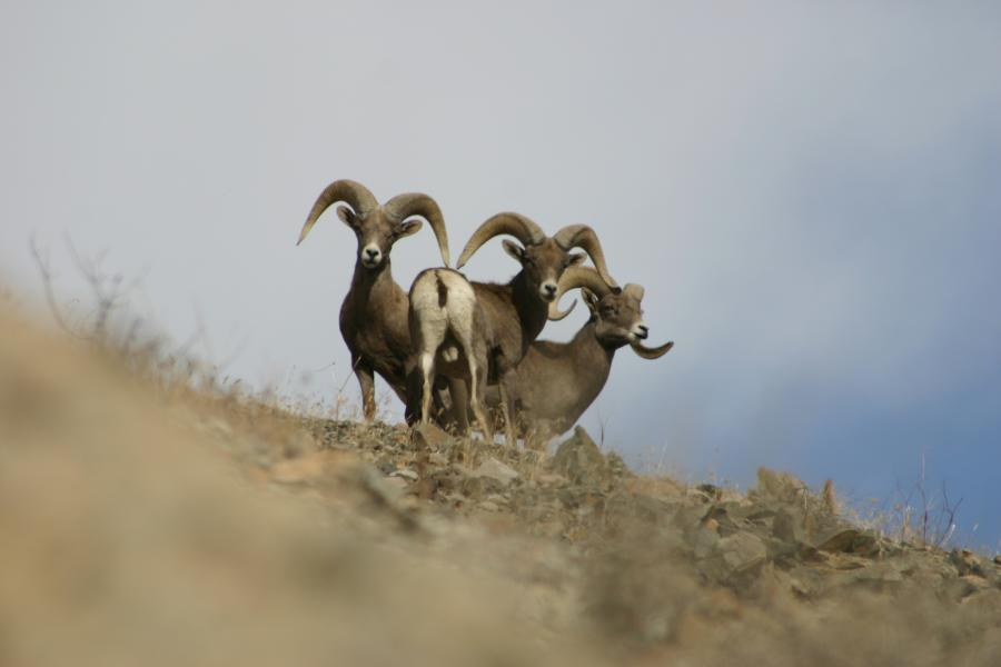 Desert Bighorn West Walker Lake