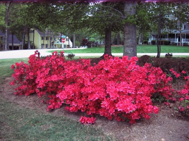 My Azaleas In Cary, Nc.