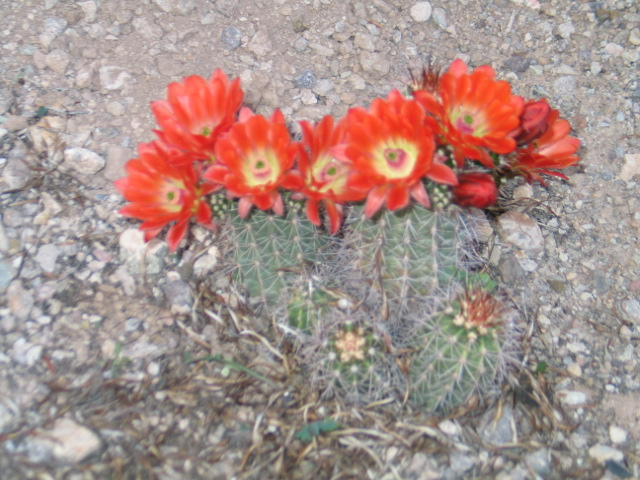 Organ Pipe Cactus Blooms