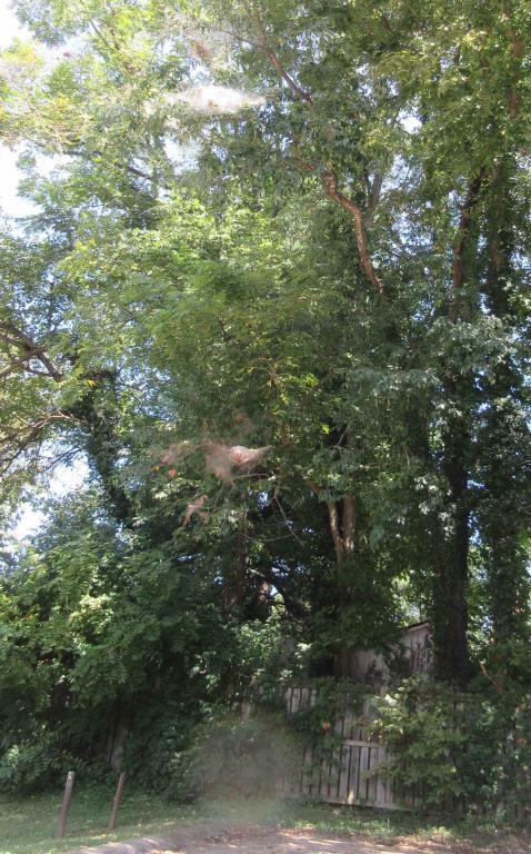 Cincinnati--Sayler Park--bagworms