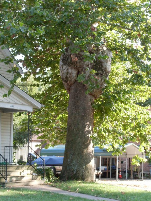 Cincinnati--Sayler Park--sycamore with burls
