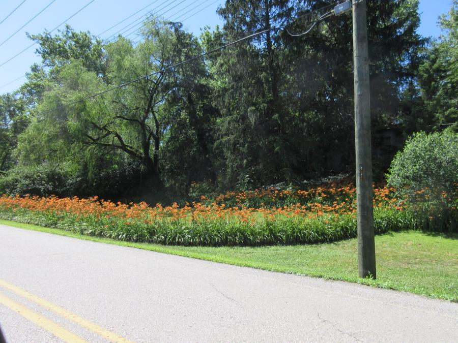 North Bend-daylilies