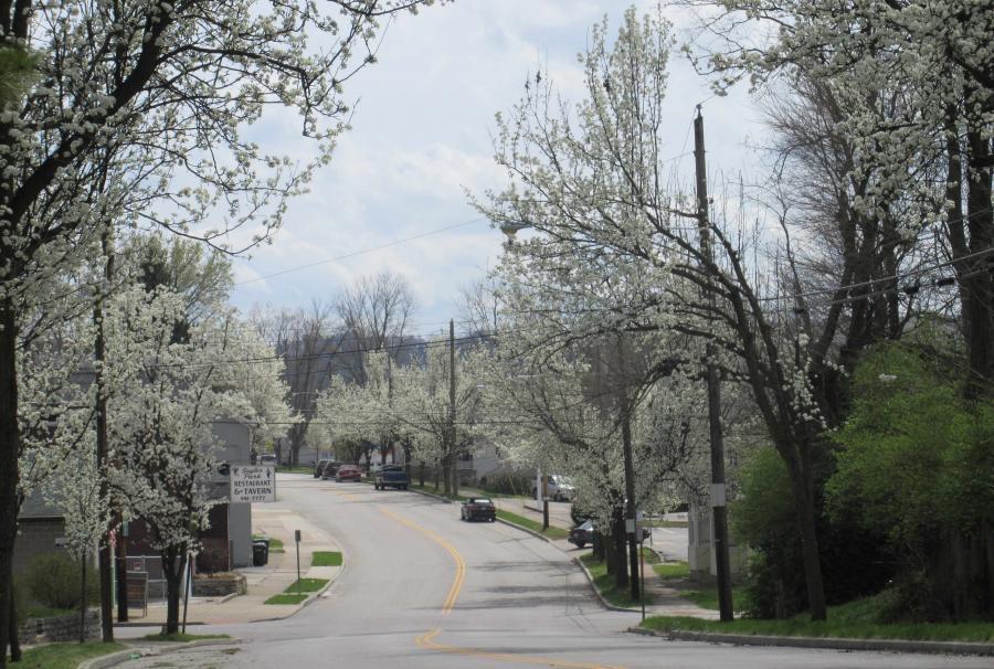 Cincinnati--Sayler Park--Bradford pears